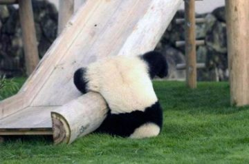 Why Are Pandas So Cute?