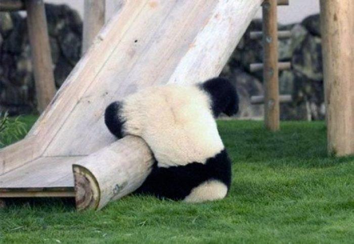 Why Are Pandas So Cute?
